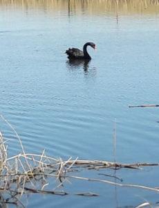 Brita Kleven Thorsvik: Her er mitt favorittbilde fra turen. Bildet er fra Hacienda. Har kun sett svarte svaner tidligere på NSG sin tur til Sør Afrika i 2014.